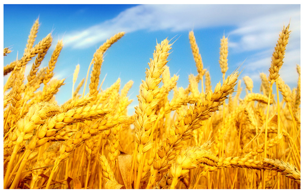 wheat wallpapers hd 68695 2128244.png